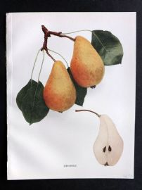 Hedrick - Pears of New York 1921 Fruit Print. Jargonelle.